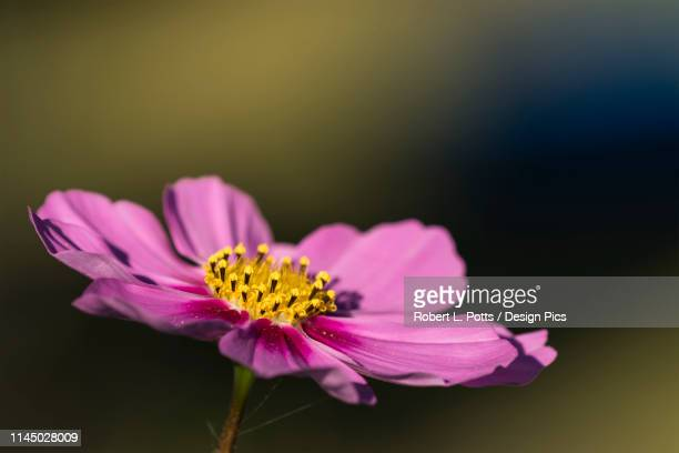 a cosmos blooms in autumn - cosmos flower stock photos and pictures