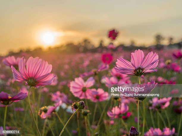Cosmos field before sunset