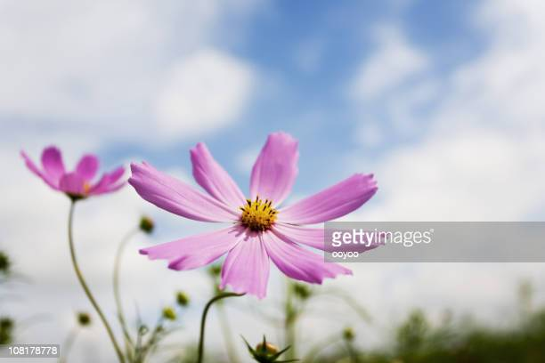 Cosmos flower against the sky