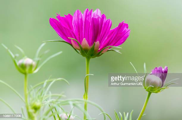 cosmos flower and buds - arthur foto e immagini stock