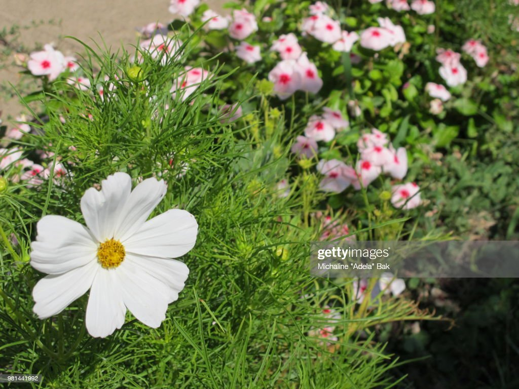cosmos flower and vinca flowers stock photo getty images