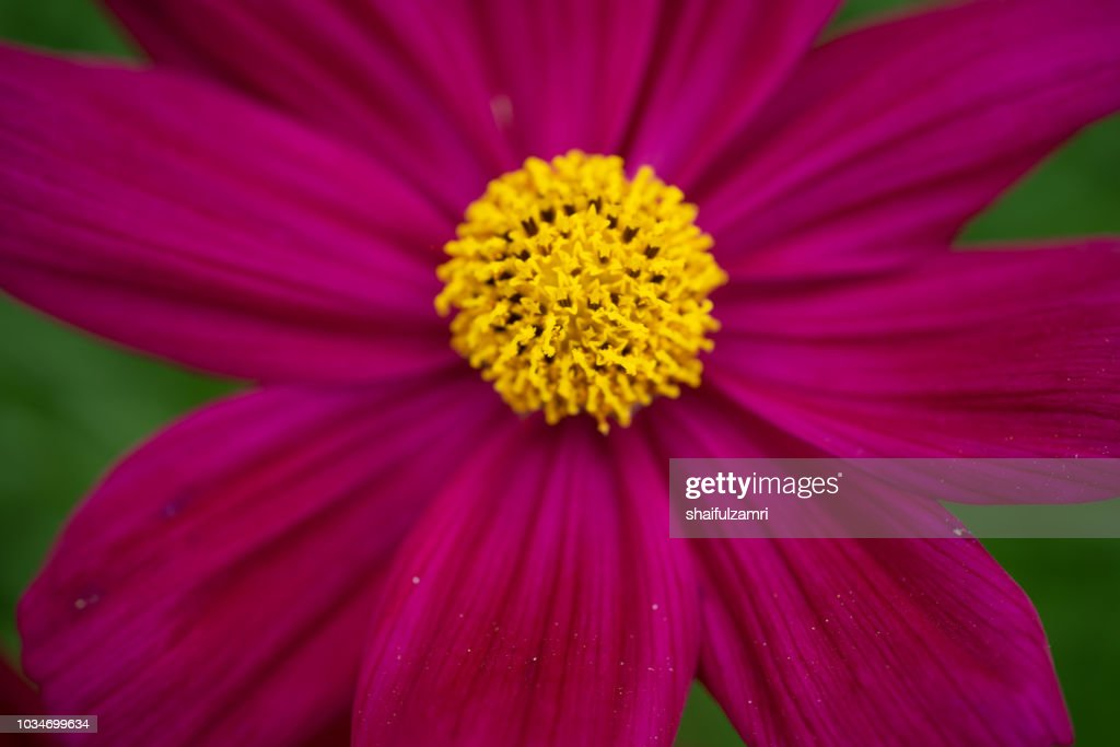 Cosmos flower - annual flowers with colourful daisy-like flowers that sit atop long slender stems. Blooming throughout the summer months. : Stock Photo