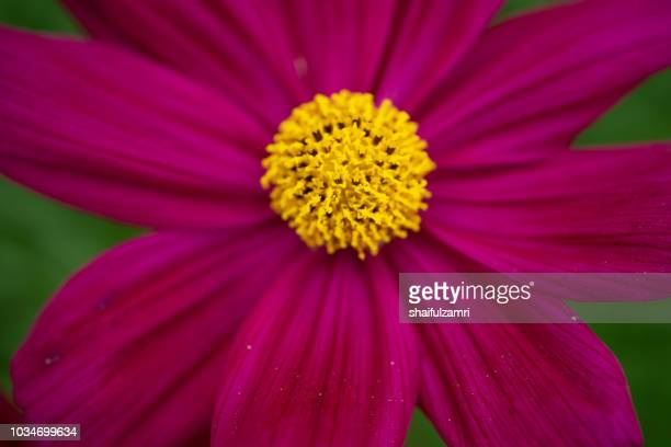Cosmos flower - annual flowers with colourful daisy-like flowers that sit atop long slender stems. Blooming throughout the summer months.