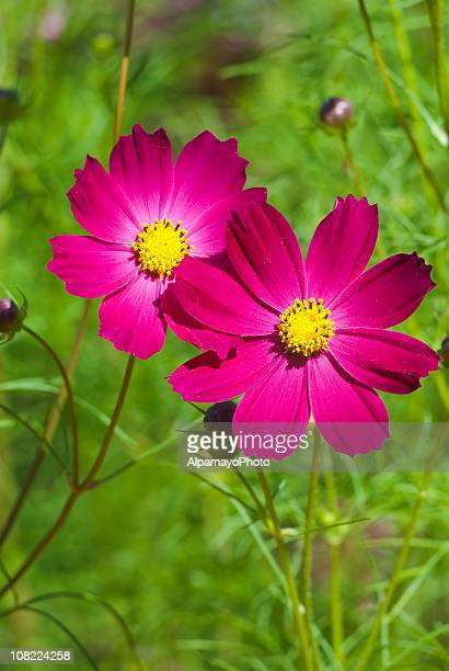 cosmos flower delight - vi - cosmos flower stock photos and pictures