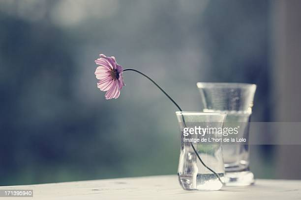 Cosmos flower in glass