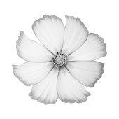single white cosmos flower black white