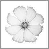 single cosmos flower black white with
