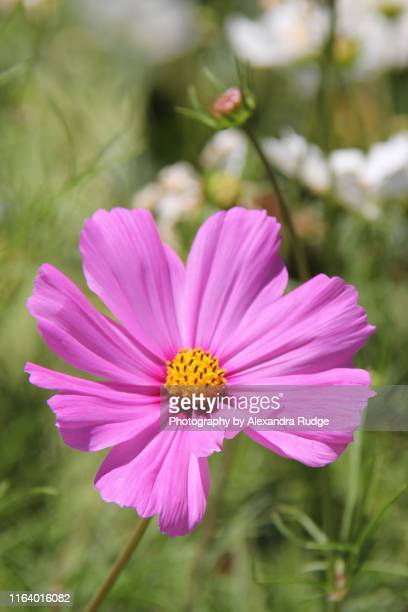 cosmos flower. - cosmos flower stock pictures, royalty-free photos & images