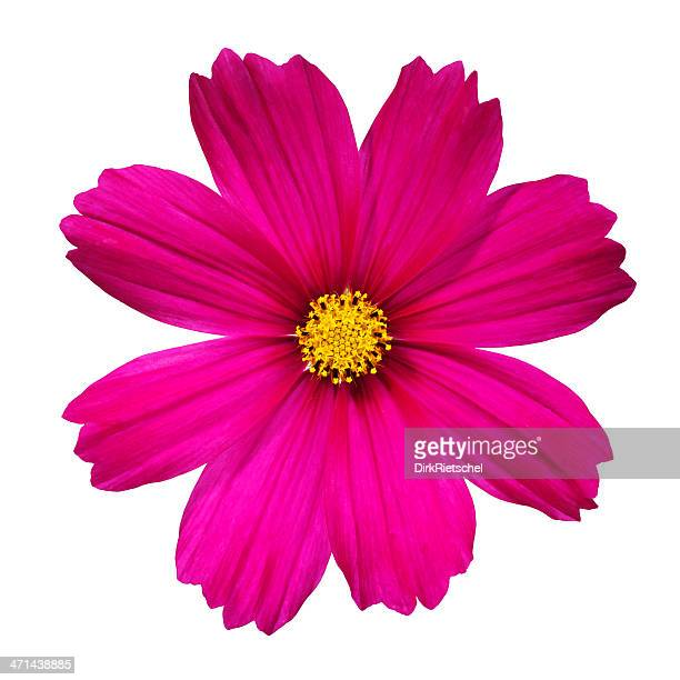 Cosmos flower stock photos and pictures getty images cosmos flower mightylinksfo Image collections
