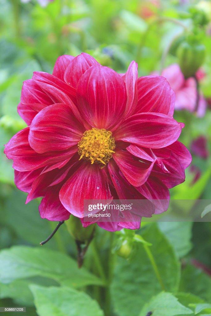 Cosmos flower : Stock Photo