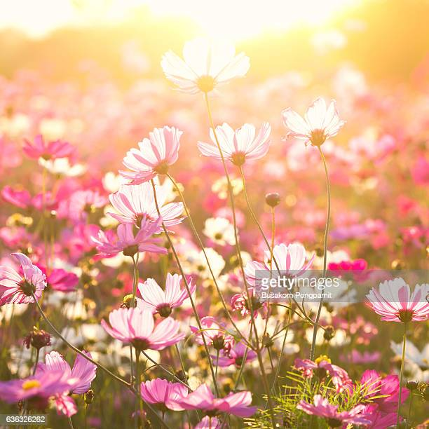 Cosmos flower under sunlight in the field