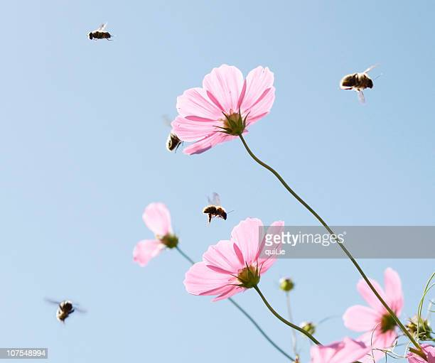 Cosmos flower with flying bees