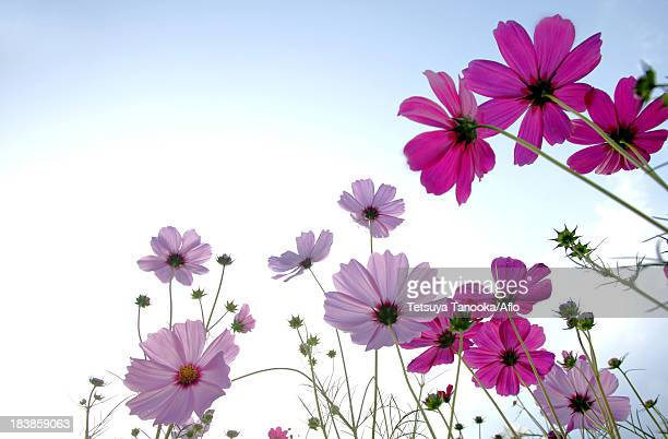 cosmos flowers and blue sky - 十月 ストックフォトと画像