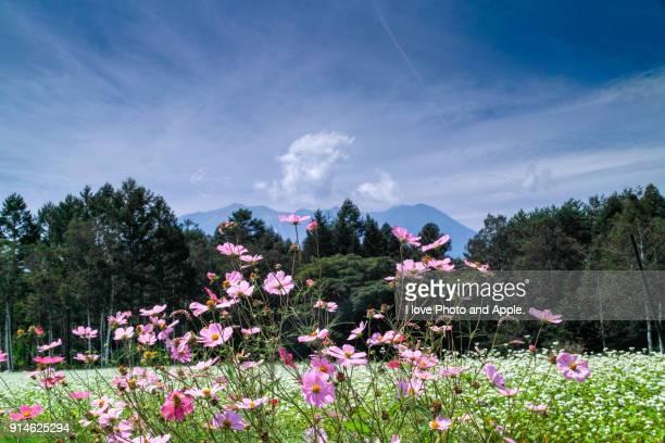 cosmos flowers at buckwheat fields - 九月 ストックフォトと画像