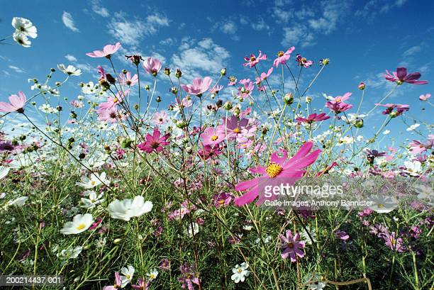 cosmos (cosmos bipinnatus) flowers, close-up - wild flowers stock pictures, royalty-free photos & images