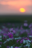 cosmos flowers bloom at sunset