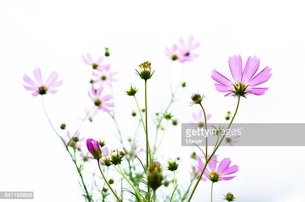 Cosmos flowers in bloom