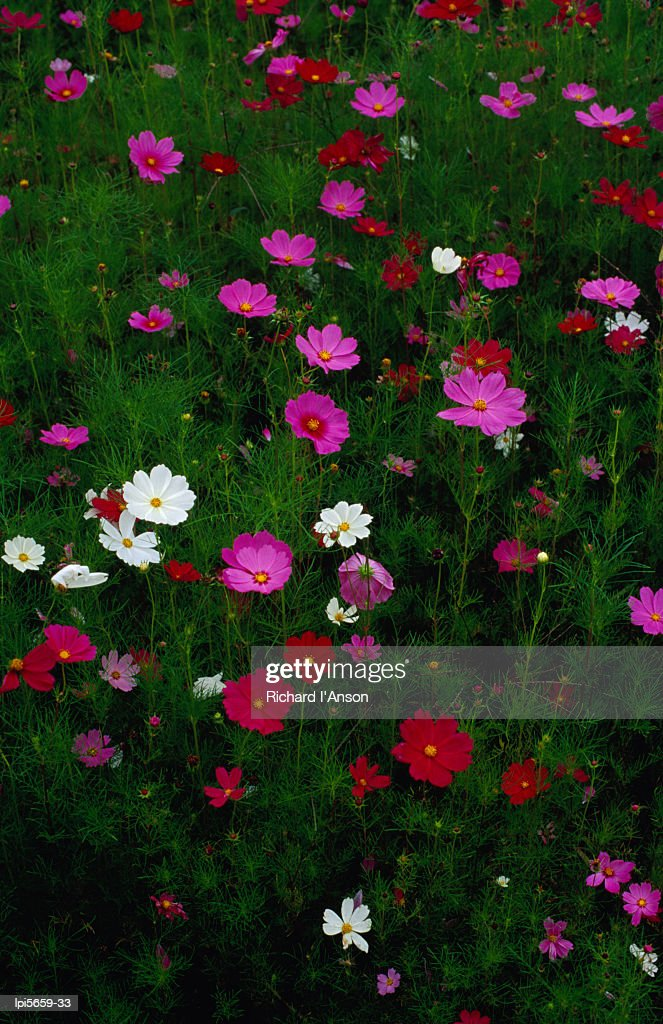 Cosmos flowers in bloom, Tono, Tohoku, Japan, Northeast Asia : Stock Photo