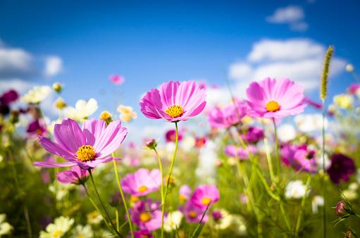 Cosmos flowers in full bloom - gettyimageskorea