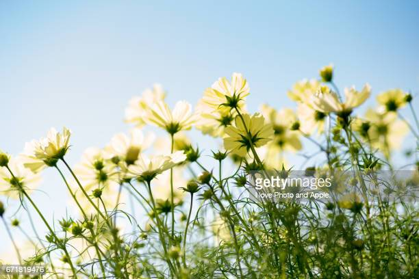 cosmos flowers in full bloom - 風 stockfoto's en -beelden