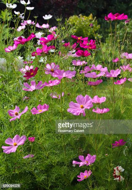 Cosmos flowers in late summer English garden.