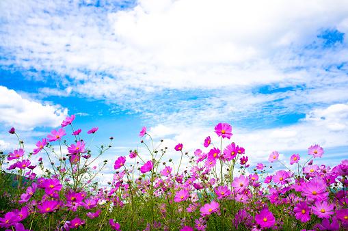 Cosmos flowers in the wind - gettyimageskorea