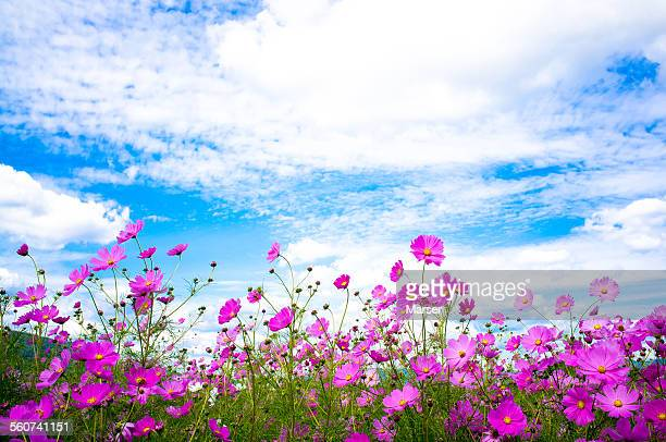 Cosmos flowers in the wind
