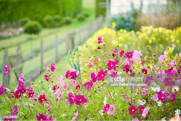 cosmos flowers - cosmos flower stock pictures, royalty-free photos & images