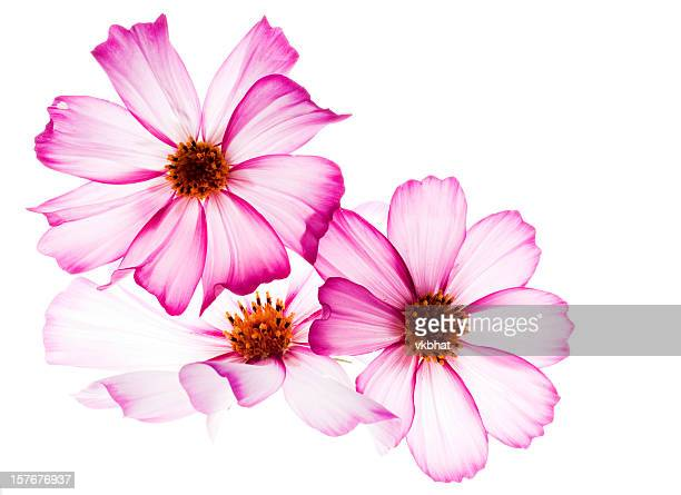 cosmos flowers - translucent stock pictures, royalty-free photos & images