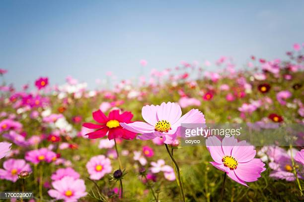 cosmos flowers - cosmos flower stock photos and pictures
