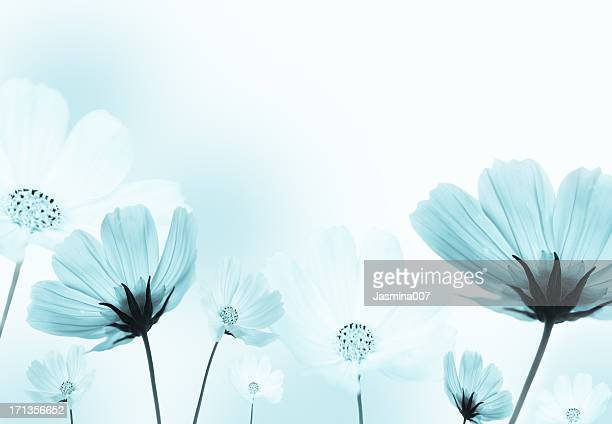 cosmos flowers - tranquil scene stock pictures, royalty-free photos & images