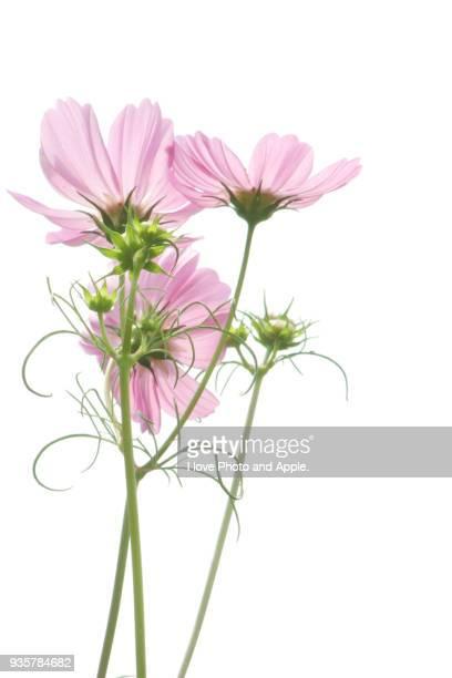 cosmos flowers - fleurs des champs photos et images de collection