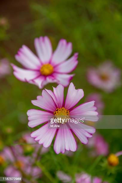 cosmos - cosmos flower stock pictures, royalty-free photos & images