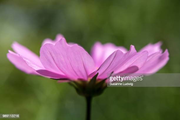 cosmos - susanne ludwig stock pictures, royalty-free photos & images