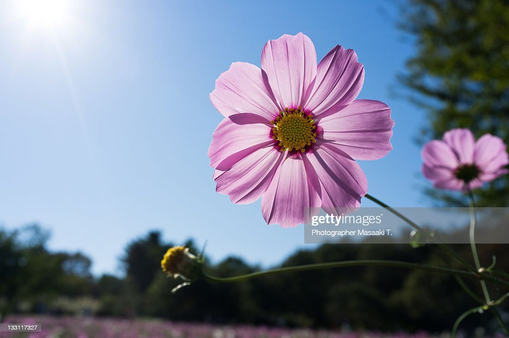 Cosmos pink flower : Stock Photo