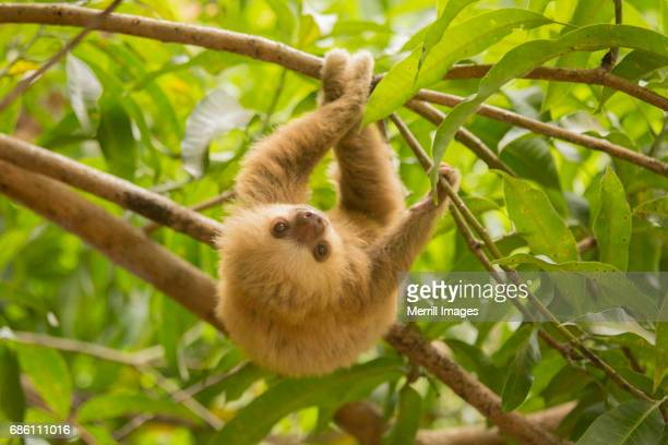 costa rica, baby sloth. - young animal stock pictures, royalty-free photos & images