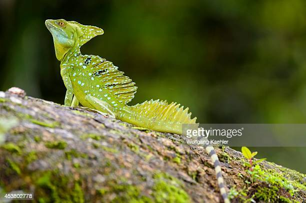Costa Rica Cano Negro Green Basilisk Lizard On Tree