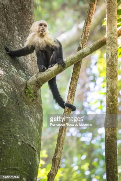costa rica, capuchin monkey - iacomino costa rica foto e immagini stock