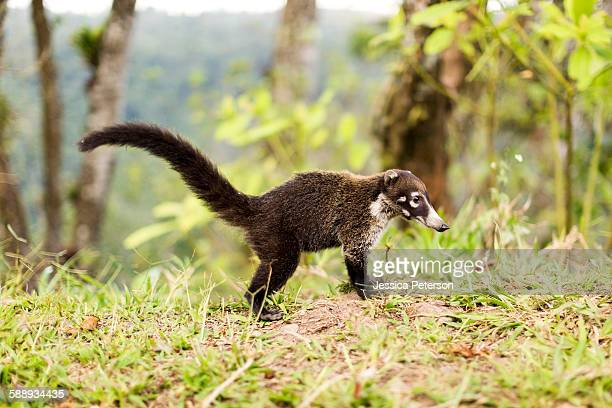 costa rica, coati in grass - coati stock pictures, royalty-free photos & images