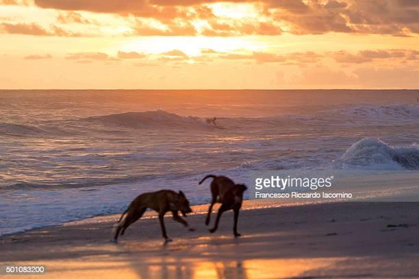 costa rica, dogs playing on the shore - iacomino costa rica foto e immagini stock