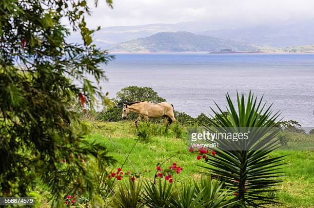 Costa Rica, Lake Arenal, wild horse on meadow