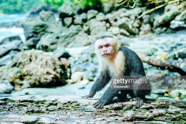costa rica, manuel antonio, monkey on a tree trunk in the manuel antonio national park - mono capuchino fotografías e imágenes de stock