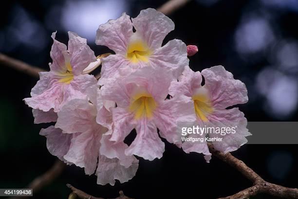 Costa Rica, Manuel Antonio National Park, Poui Tree , Flower.