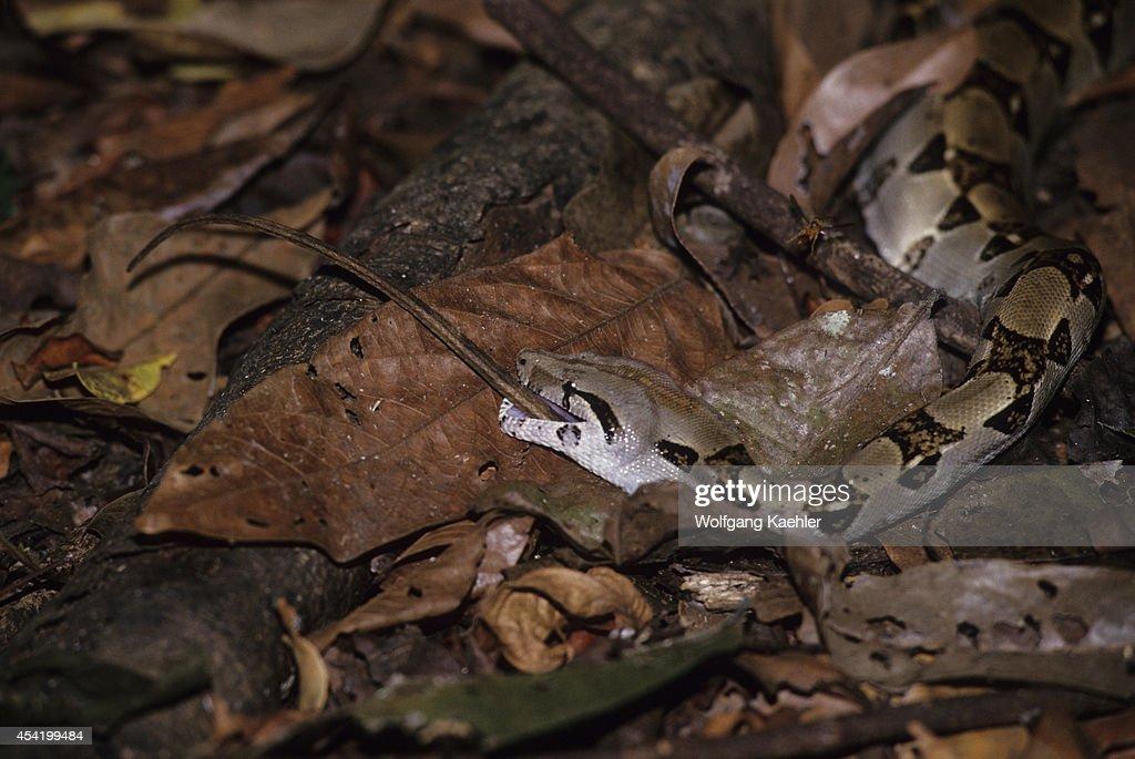 Costa Rica, Manuel Antonio National Park, Rain Forest, Boa Constrictor Eating Lizard.