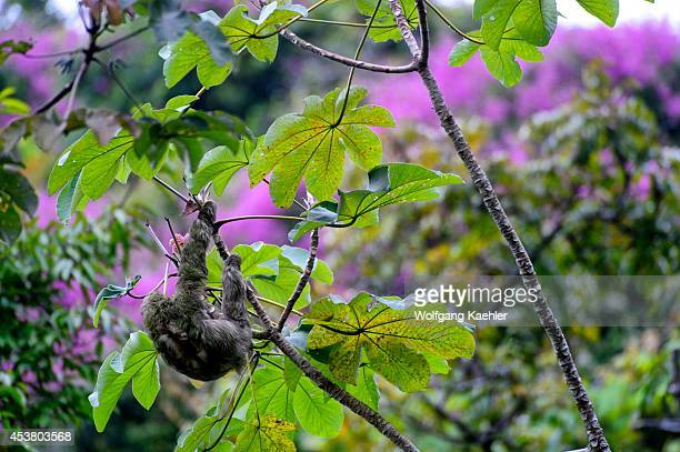 Costa Rica Manuel Antonio National Park Threetoed Sloth In Tree