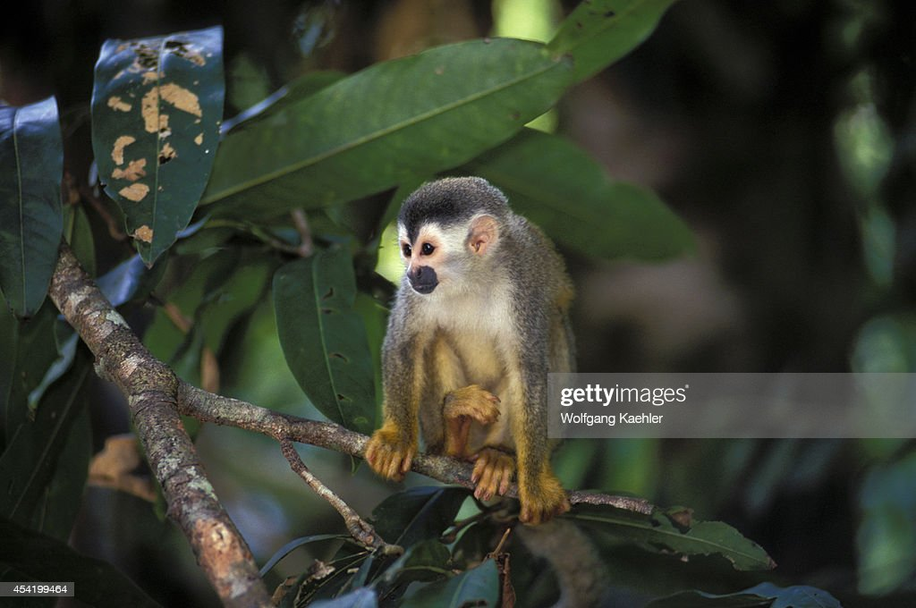 Costa Rica, Manuel Antonio Np, Rain Forest, Squirrel Monkey.