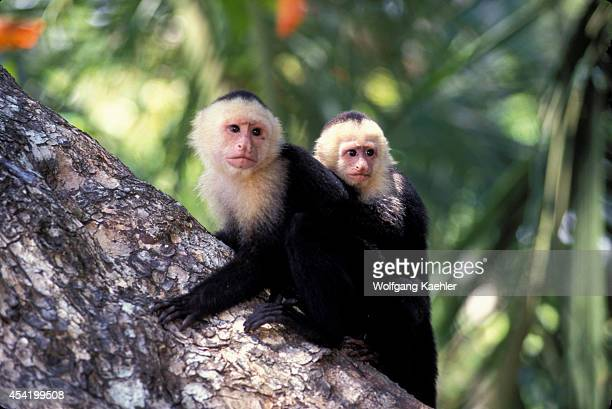 Costa Rica Manuel Antonio Np Rain Forest Whitefaced Capuchin Monkey With Baby On Back