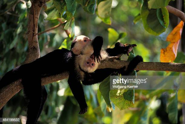 Costa Rica Manuel Antonio Np Rain Forest Whitefaced Capuchin Monkeys Baby Playing