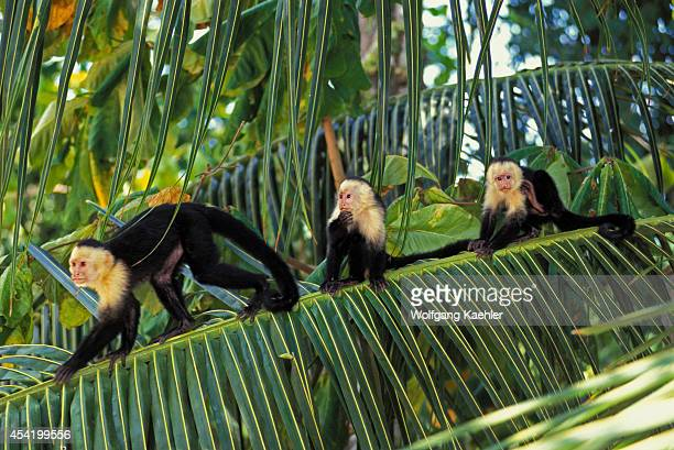 Costa Rica Manuel Antonio Np Rain Forest Whitefaced Capuchin Monkeys