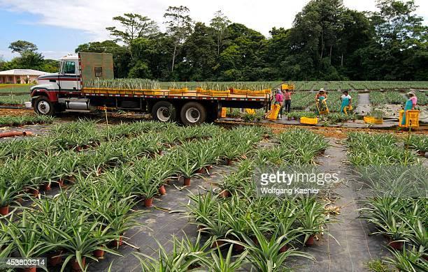 Costa Rica Near La Virgen De Sarapiqui Collin Street Bakery Pineapple Farm Workers In Field